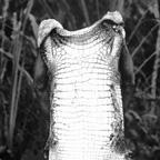 Man and crocodile skin